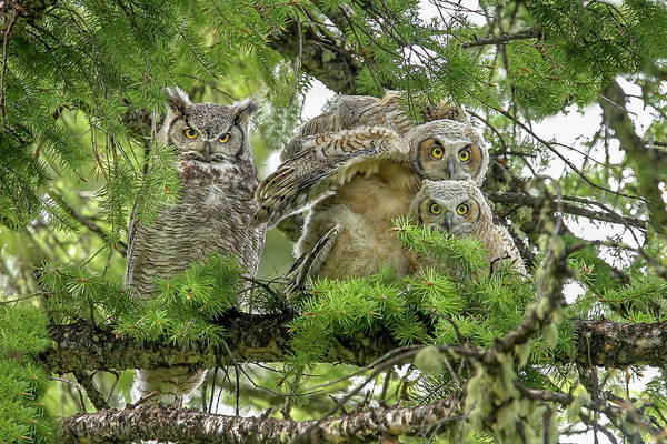 Photograph - Great Horned Family by Ronnie and Frances Howard