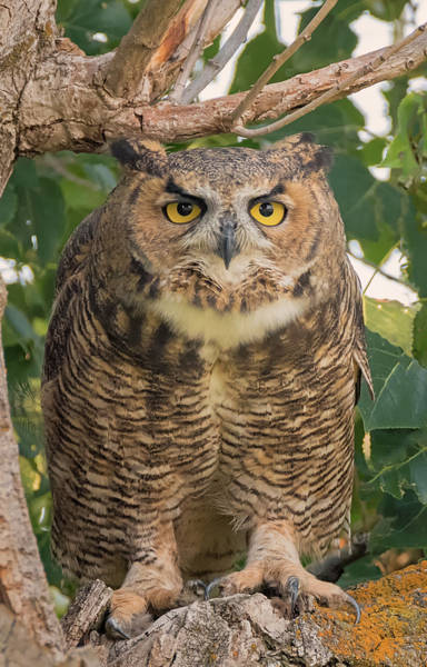 Photograph - Great Horned Glare by Loree Johnson