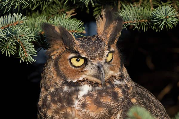 Photograph - Great Horned Owl 10181802 by Rick Veldman