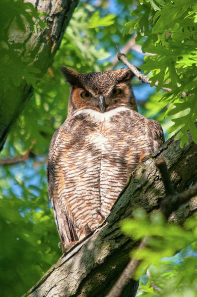 Photograph - Great Horned Owl 5 by Steve Stuller