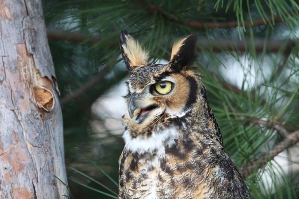 Photograph - Great Horned Owl 5151801 by Rick Veldman