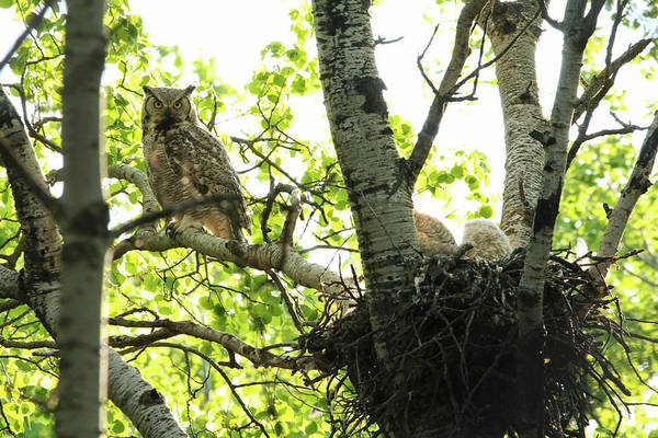 Photograph - Great Horned Owl And Babies by Ryan Crouse