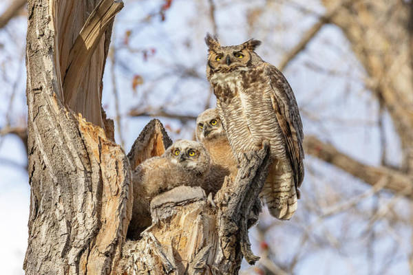 Photograph - Great Horned Owl And Her Owlets Keep Watch by Tony Hake