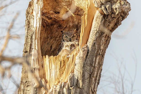 Photograph - Great Horned Owl And Owlet At Home by Tony Hake