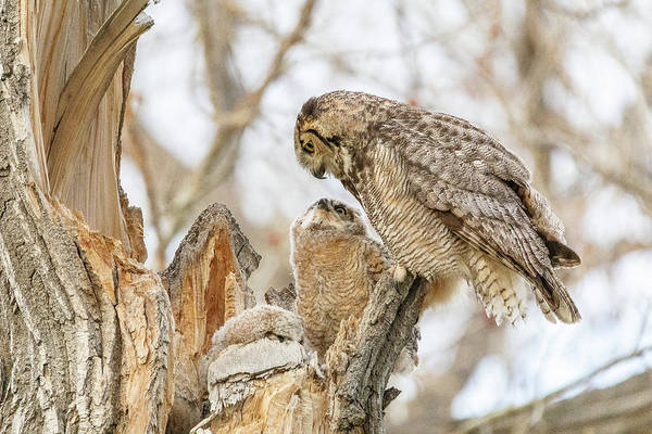 Photograph - Great Horned Owl And Owlet Enjoy A Moment by Tony Hake
