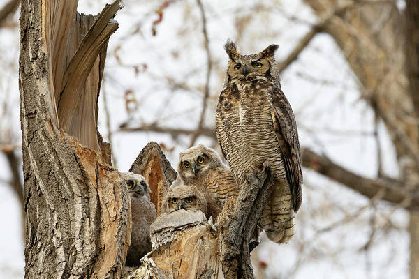 Photograph - Great Horned Owl And Owlets Enjoy The Evening by Tony Hake