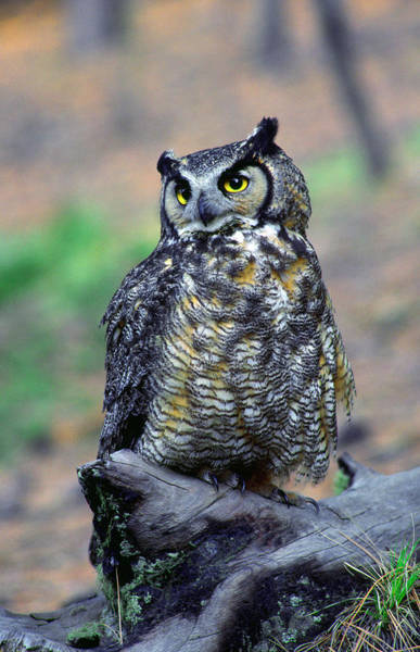 Wall Art - Photograph - Great Horned Owl B. Virginianus by Panoramic Images
