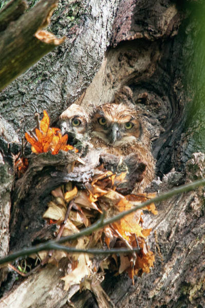 Photograph - Great Horned Owl Chicks 1 by Steve Stuller