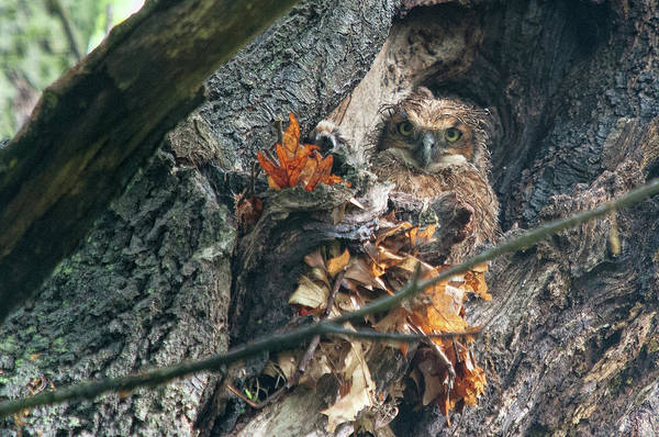 Photograph - Great Horned Owl Chicks 2 by Steve Stuller