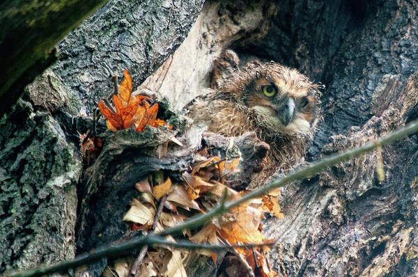 Photograph - Great Horned Owl Chicks 3 by Steve Stuller