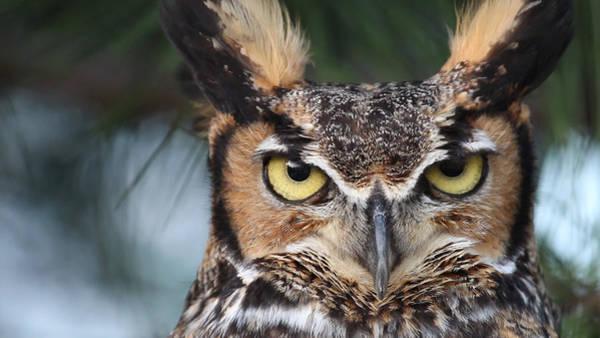 Photograph - Great Horned Owl Eyes 51518 by Rick Veldman