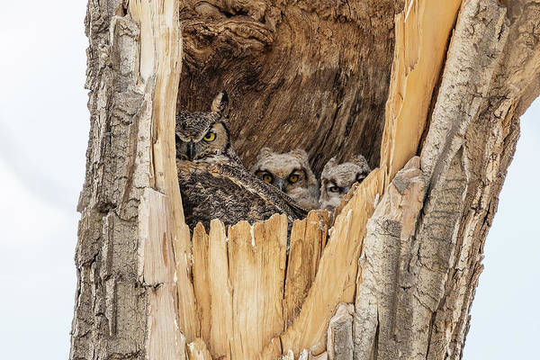 Photograph - Great Horned Owl Family At Home by Tony Hake