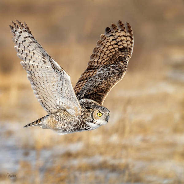 Photograph - Great Horned Owl In Flight by Judi Dressler