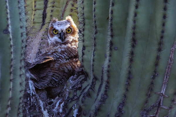 Photograph - Great Horned Owl Juvenile 7950-042419 by Tam Ryan