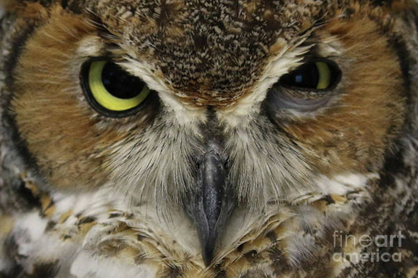 Photograph - Great-horned Owl by Meg Rousher