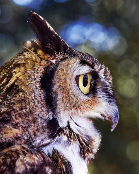 Photograph - Great Horned Owl Mission by KJ Swan