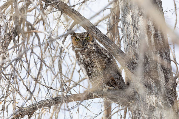 Photograph - Great Horned Owl On The Lookout by Tony Hake