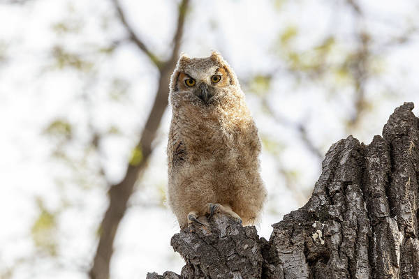 Photograph - Great Horned Owl Owlet In The Evening Light by Tony Hake