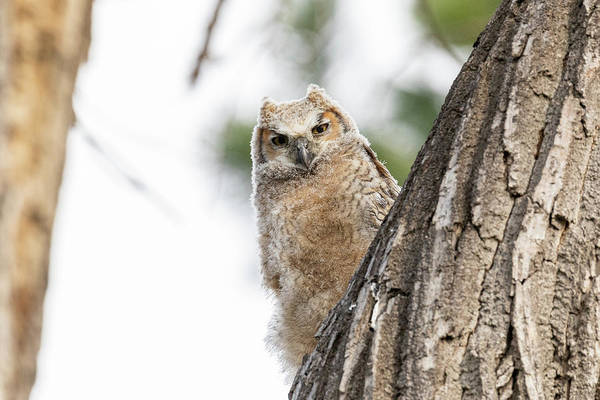 Photograph - Great Horned Owl Owlet Peeks Around The Corner by Tony Hake