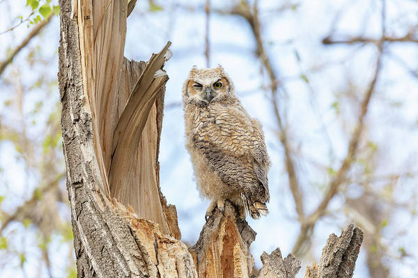 Photograph - Great Horned Owl Owlet Stands Tall by Tony Hake