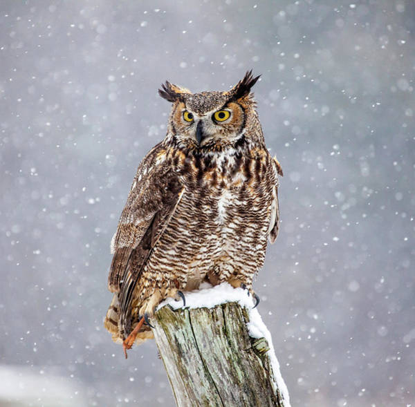 The Great Outdoors Photograph - Great Horned Owl by Paul Bruch Photography