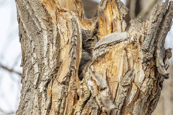 Photograph - Great Horned Owl Peers Out From Its Nest by Tony Hake