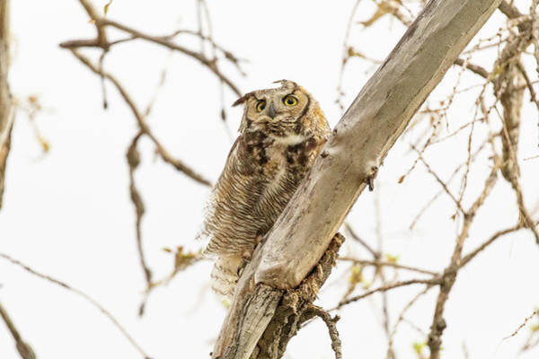 Photograph - Great Horned Owl Rides Out The Wind by Tony Hake