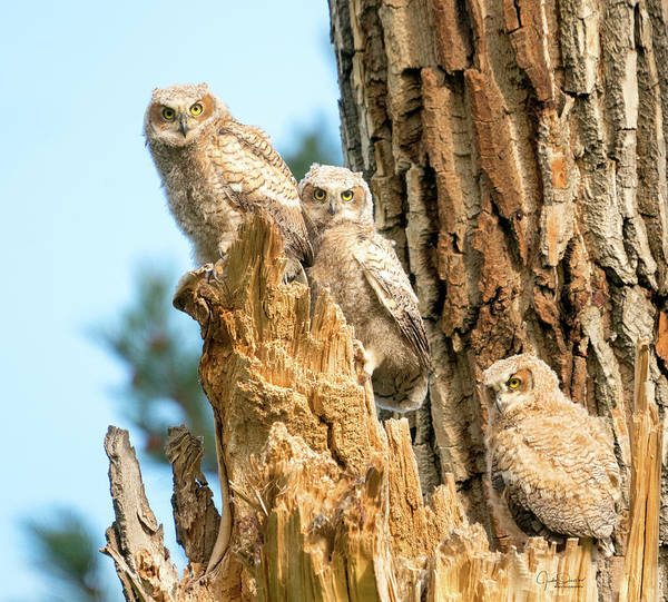 Photograph - Great Horned Owl Siblings by Judi Dressler