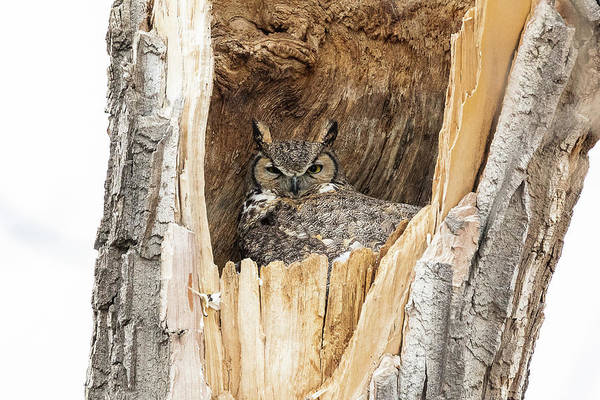 Photograph - Great Horned Owl Sitting In Her Home by Tony Hake