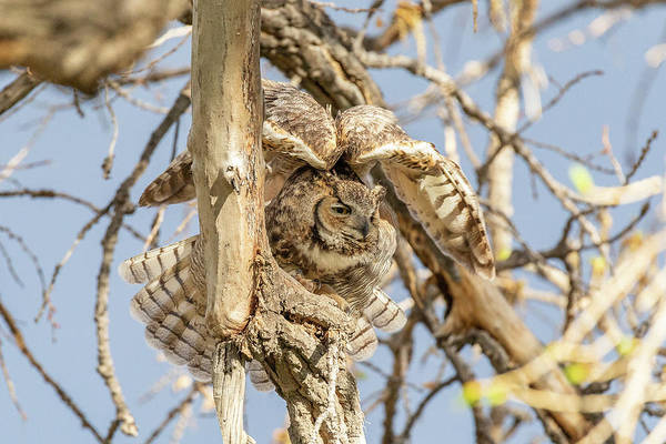 Photograph - Great Horned Owl Stretches Her Wings by Tony Hake