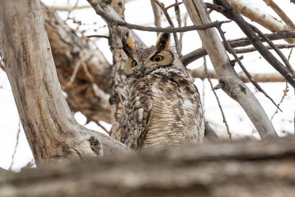 Photograph - Great Horned Owl Watches A Threat by Tony Hake