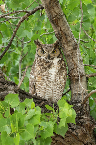 Wall Art - Photograph - Great-horned Owl Watches Intently While by Brenda Tharp