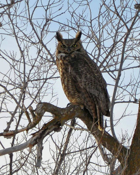 Wall Art - Photograph - Great Horned Owl by Whispering Peaks Photography