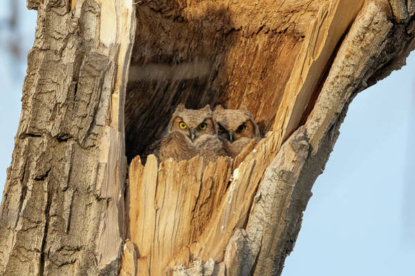 Photograph - Great Horned Owlets Cast A Wary Eye by Tony Hake