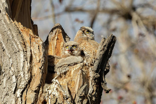 Photograph - Great Horned Owlets In The Evening Sun by Tony Hake