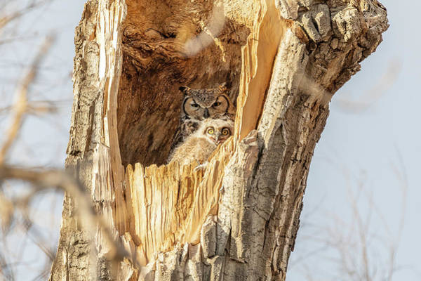 Photograph - Great Horned Owlet Smiles by Tony Hake