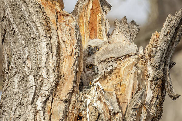 Photograph - Great Horned Owlets Struggle For Room by Tony Hake