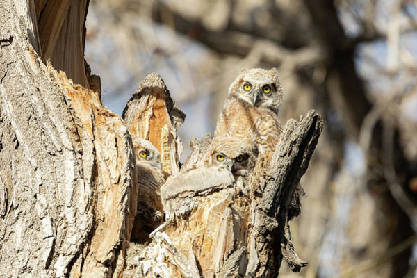 Photograph - Great Horned Owlets Take In The Evening Sun by Tony Hake