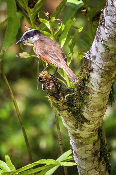 Photograph - Boat-billed Flycatcher San Jorge Ibague Colombia by Adam Rainoff