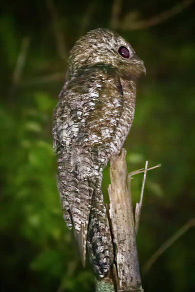 Photograph - Great Potoo La Fortuna Yopal Casanare Colombia by Adam Rainoff