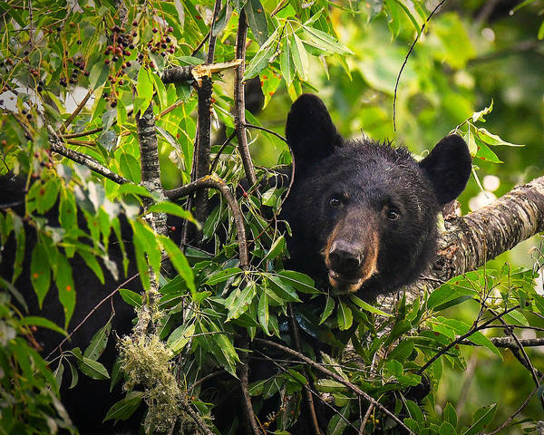 Photograph - Great Smoky Mountains Bear - Black Bear by Mike Koenig