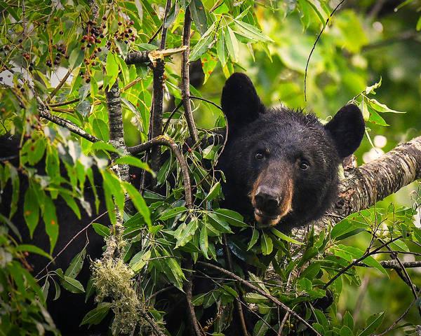 Great Smoky Mountains Bear - Black Bear Art Print