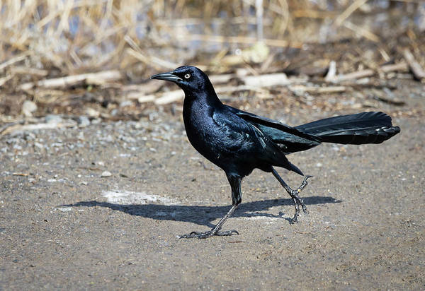 Photograph - Great Tailed Grackle 2 by Rick Mosher