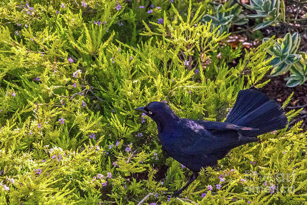 Photograph - Great-tailed Grackle In Flowers by Kate Brown