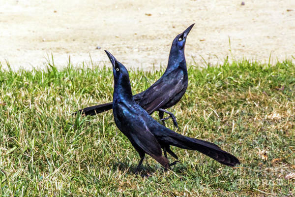 Photograph - Great-tailed Grackles Looking Up by Kate Brown