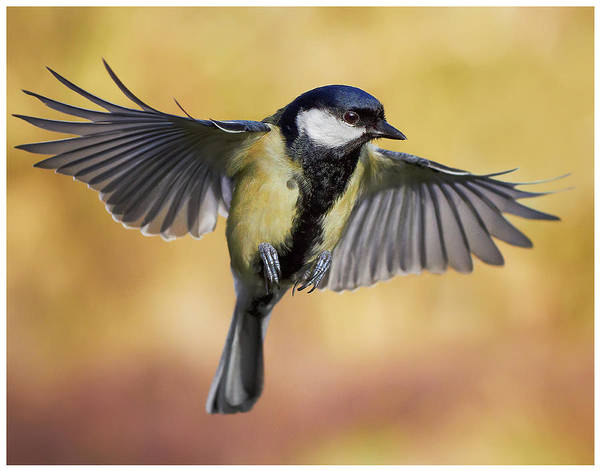 The Great Outdoors Photograph - Great Tit In Flight by J N Photography