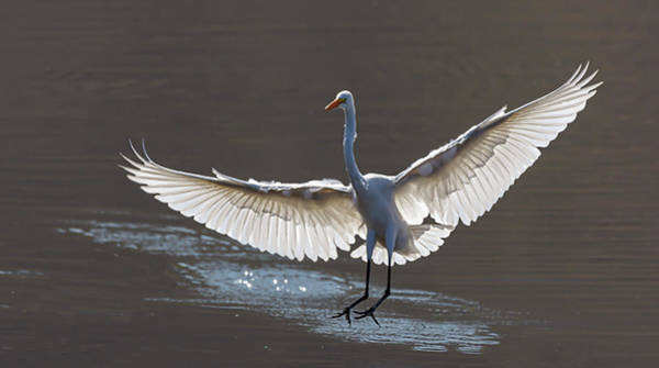 Photograph - Great White Egret 1 by Rick Mosher