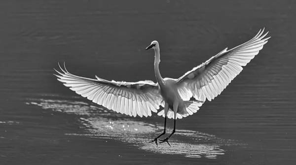 Photograph - Great White Egret 1bw by Rick Mosher