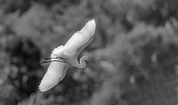 Photograph - Great White Egret 2bw by Rick Mosher