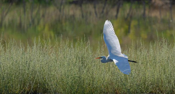 Photograph - Great White Egret 3 by Rick Mosher